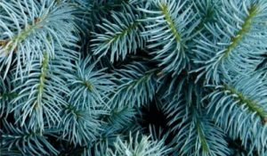 Young Living Day Januar 2021 Blue Spruce
